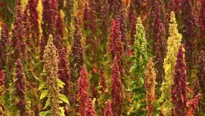 quinoa-crop