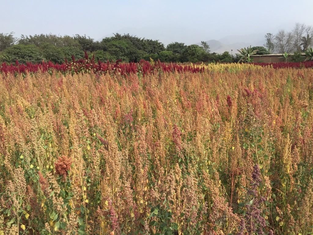 Quinoa Farm